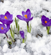 Kripalu purple flowers in snow