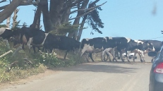 Cows crossing the road as we patiently wait ;P)