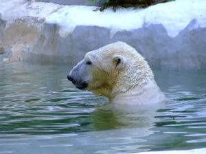 polar-bear-bath